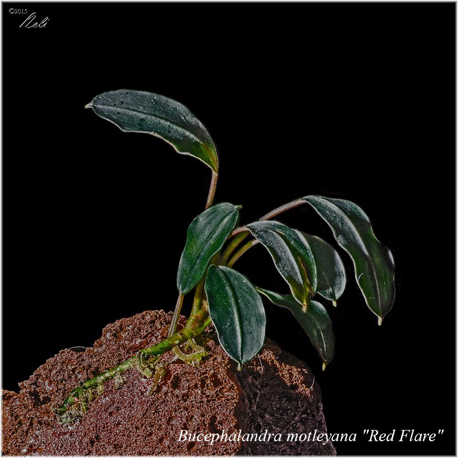 Bucephalandra motleyana-red-flare