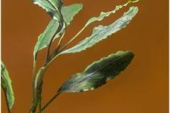 Bucephalandra godzilla