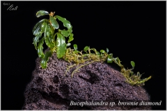 Bucephalandra sp. brownie diamond