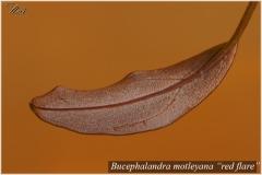 Bucephalandra motleyana red flare