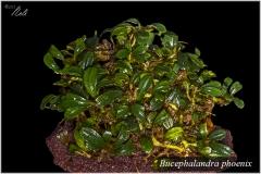 Bucephalandra phoenix