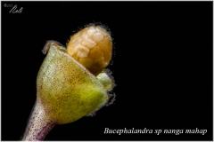 Bucephalandra sp nanga mahap